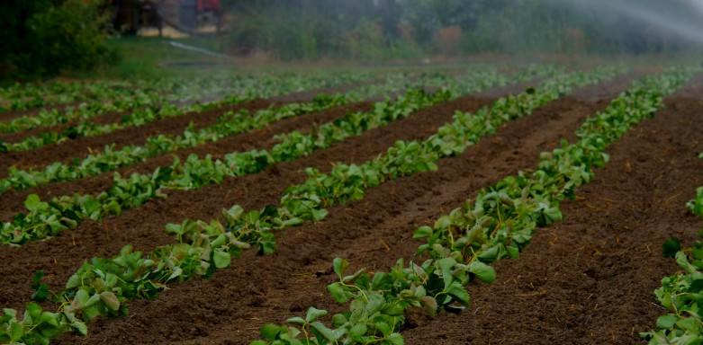 A NaanDanJain tem produtos que atendem as plantações de morango
