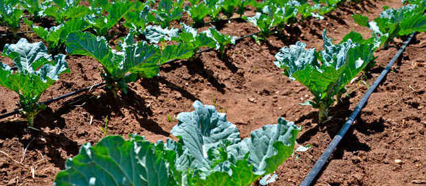 Benefícios da irrigação por gotejamento